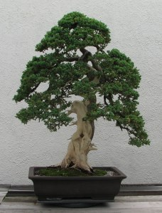 Bonsai is not a type of tree, but the art of training trees artistically grown in pots.