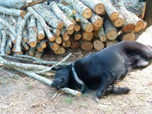 Max is always willing to help out with the camp-fire wood.